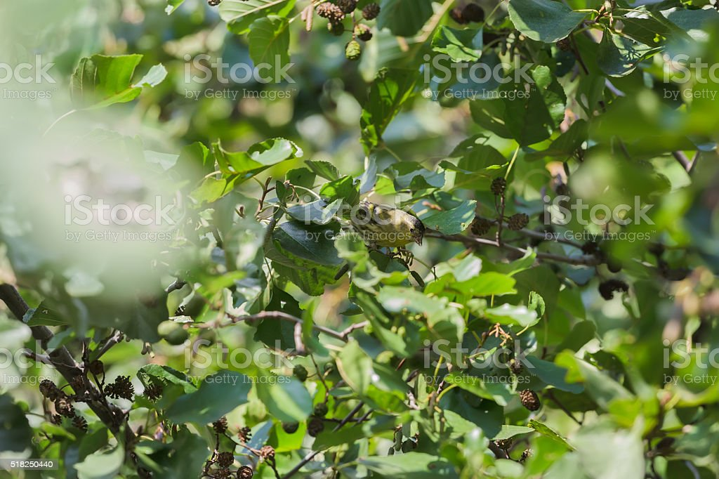 Adult Eurasian siskin feeding on alder seeds of mature cones stock photo