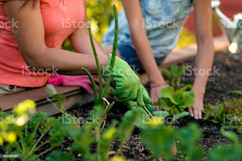 Adult female and young female hands gardening stock photo