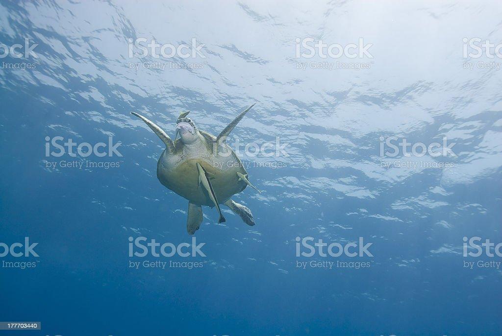 Adult  female Green turtle feeding on a Moon jellyfish (aurelia stock photo