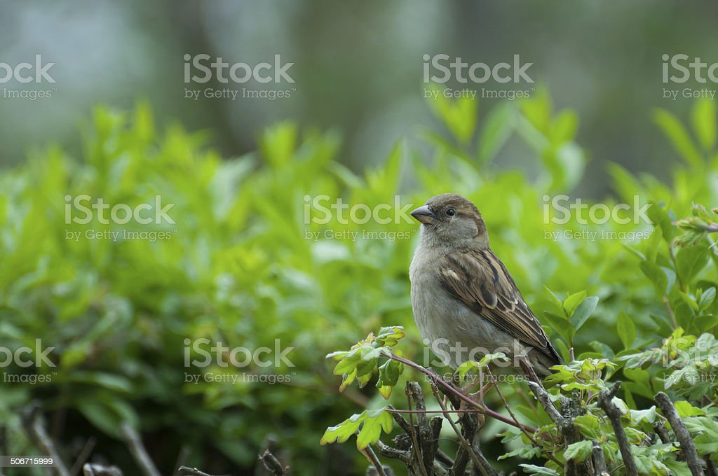 adult female of house sparrow sitting on a twig royalty-free stock photo