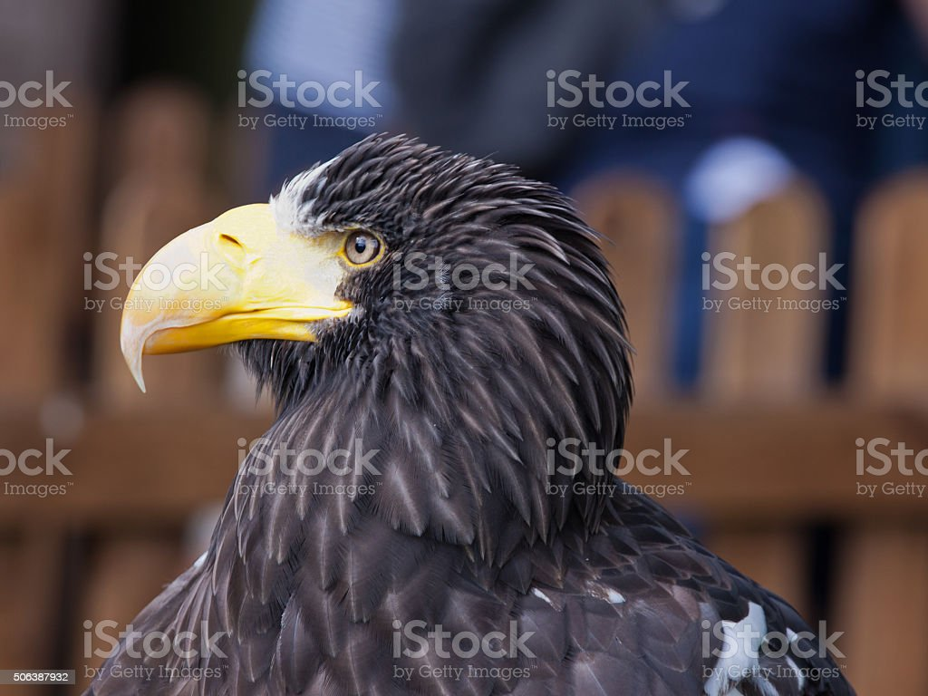 Adult female Steller's Sea Eagle in profile stock photo