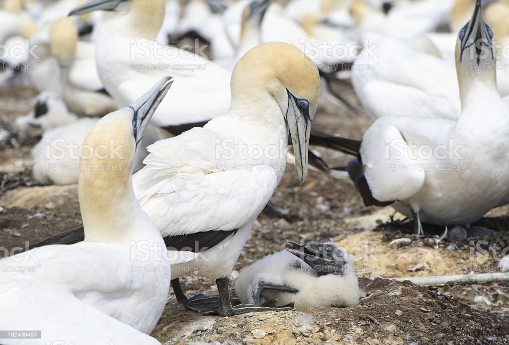 Adult Gannet cares for its chick. royalty-free stock photo