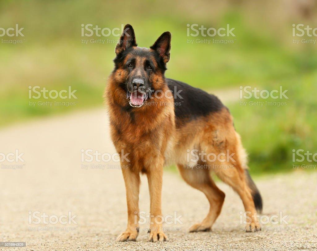 Adult German Shepherd Dog stock photo