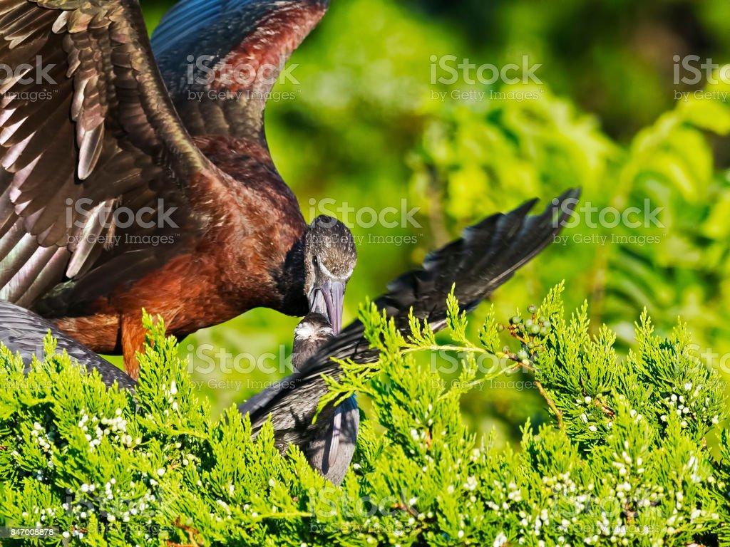 Adult Glossy Ibis Feeding a Juvenile stock photo