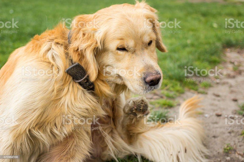 Adult Golden Retriever  Scratching fleas stock photo