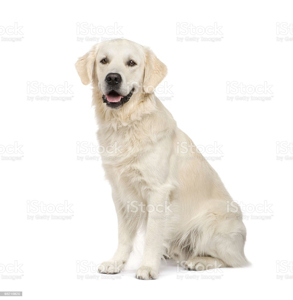Adult Golden Retriever sitting stock photo