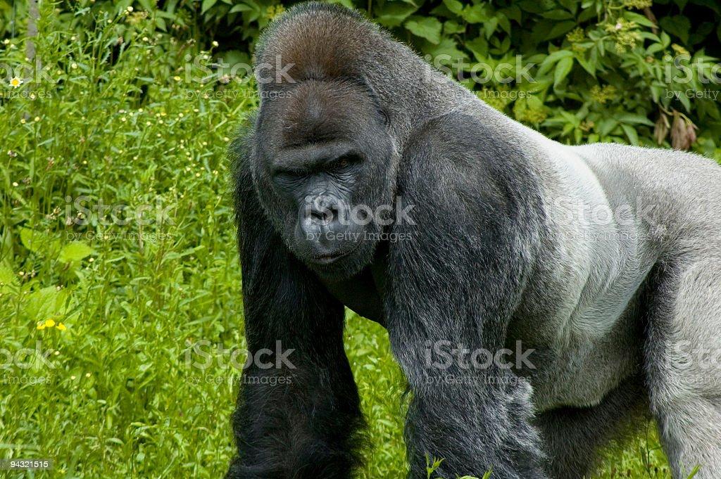 Adult gorilla stock photo