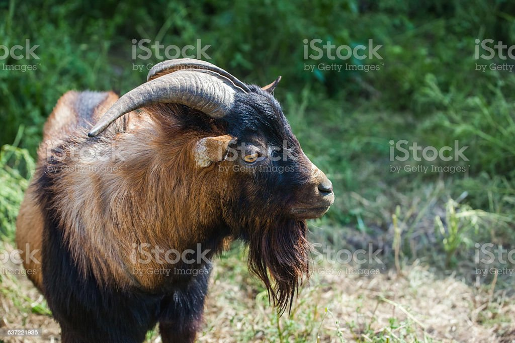 Adult, horned goat with long beard on summer pasture. stock photo