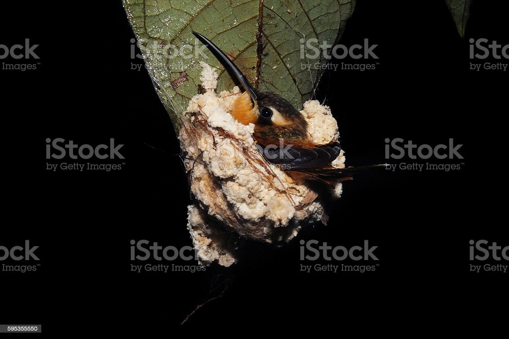 Adult hummingbird sit in the nest stock photo