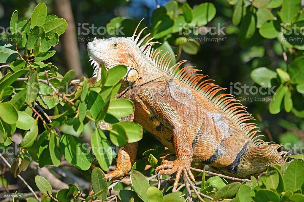 Adult Iguana male warming in the sun stock photo