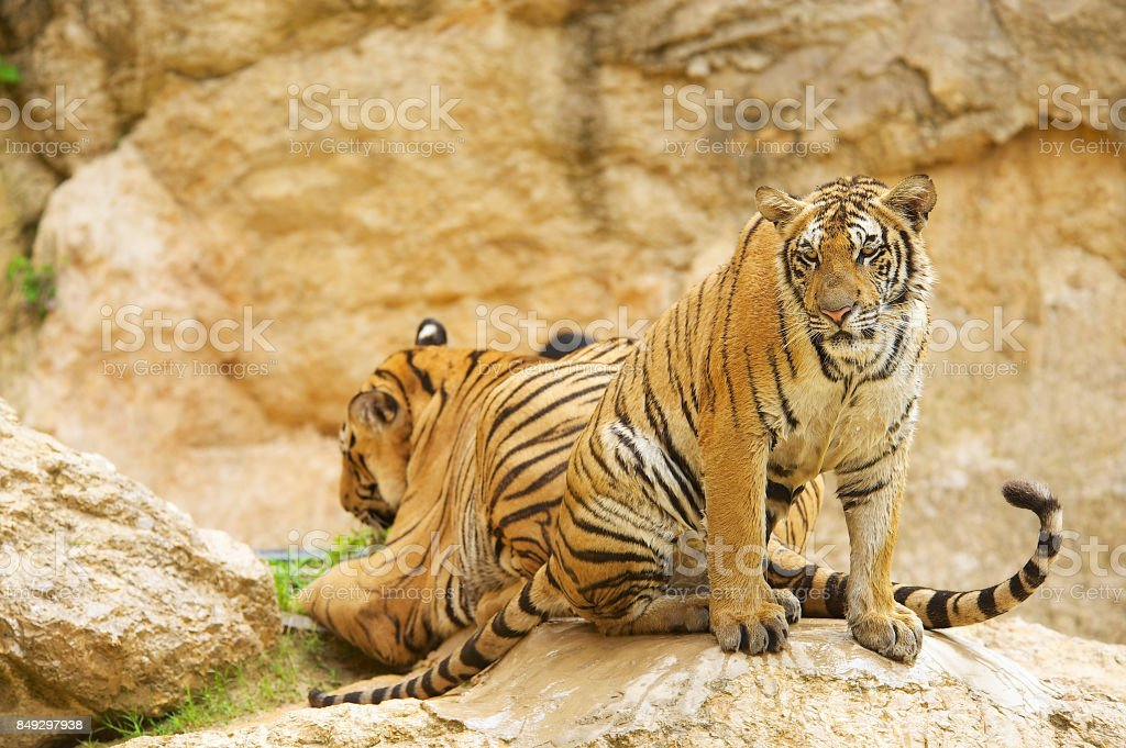 Adult Indochinese tiger. stock photo