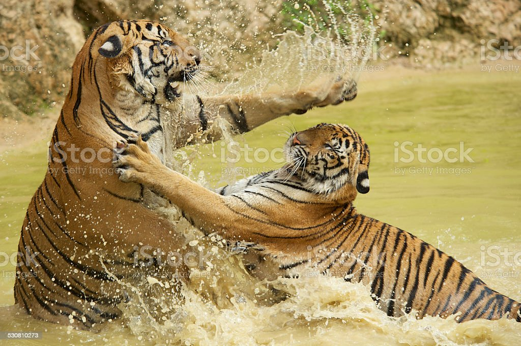 Adult Indochinese tigers fight in the water. stock photo