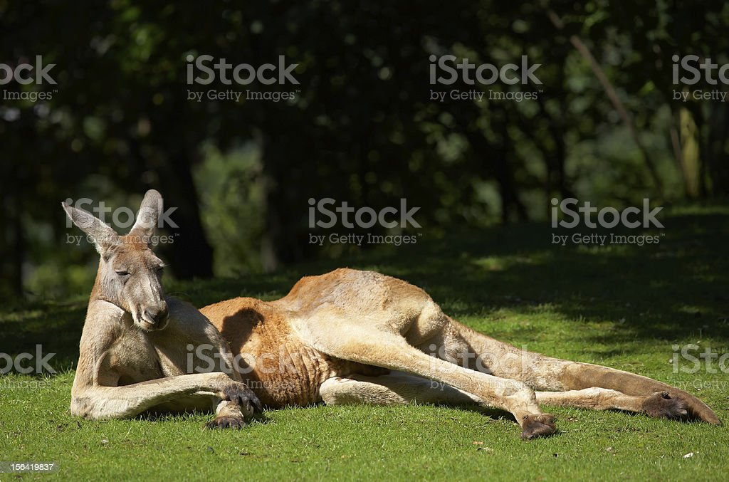 Adult kangaroo basking in the sunlight on green grass stock photo