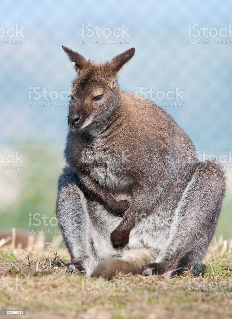adult kangaroo in a compound stock photo