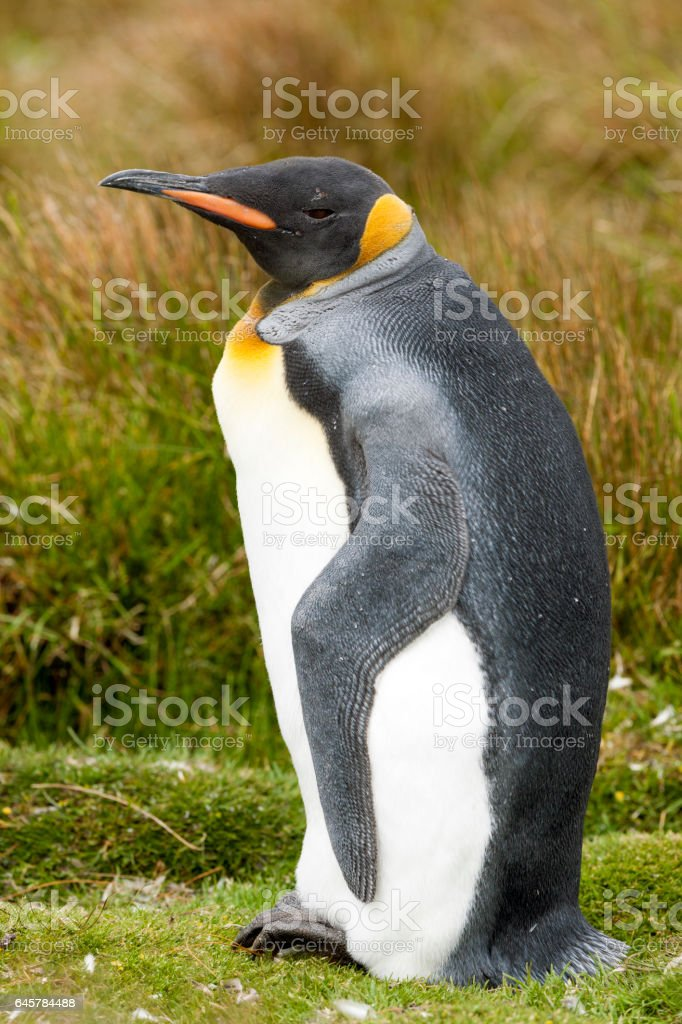 Adult King Penguin on the Falkland islands stock photo
