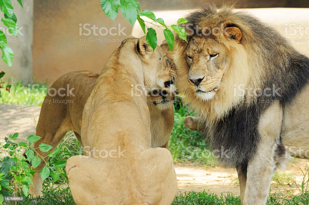 Adult Male and Female African Lions panthera leo krugeri Nuzzling stock photo