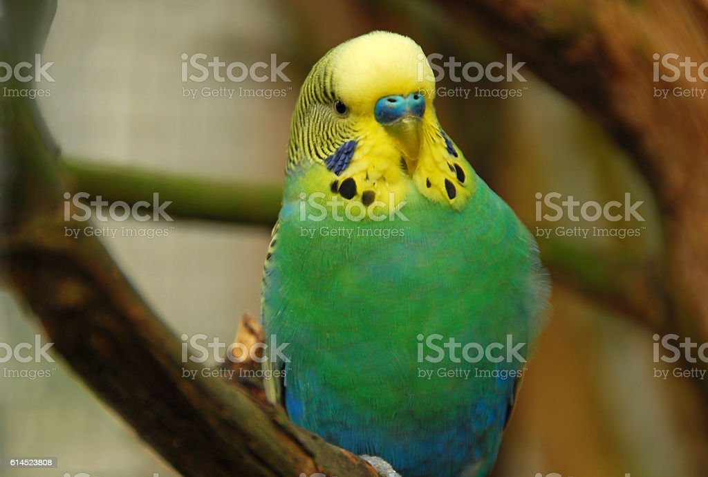 Adult male Budgerigar with blue Cere and Ceek path. stock photo