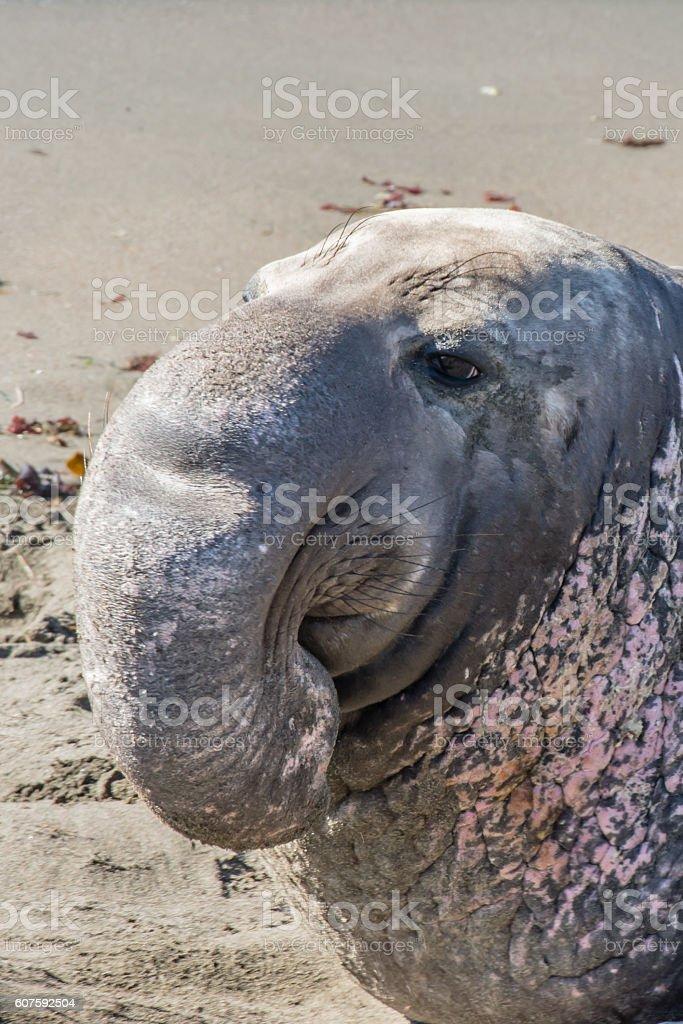 Adult Male Elephant Seal stock photo
