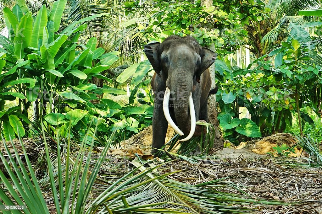 Adult male elephant with tusks in the forest in Sri Lanka stock photo
