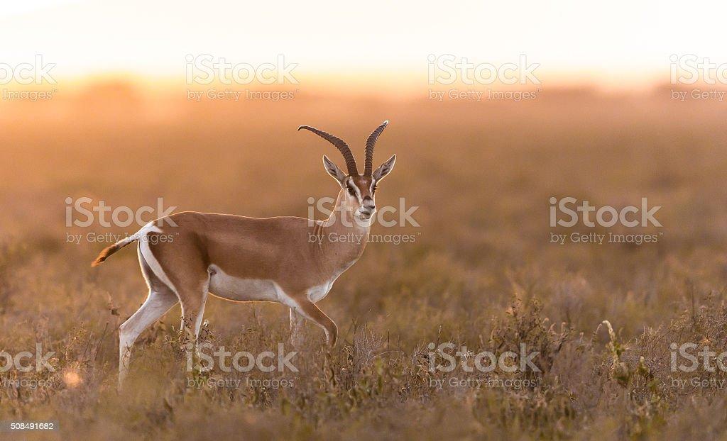 Adult Male Grant's Gazelle in the Serengeti, Tanzania stock photo