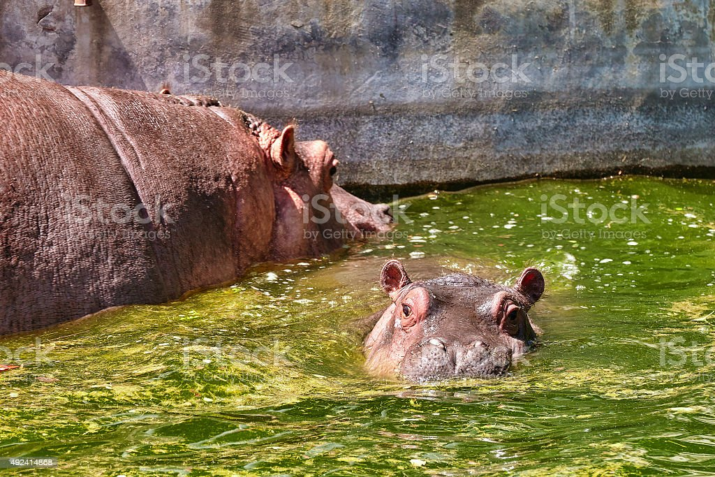 Adult male Hippopotamus. stock photo