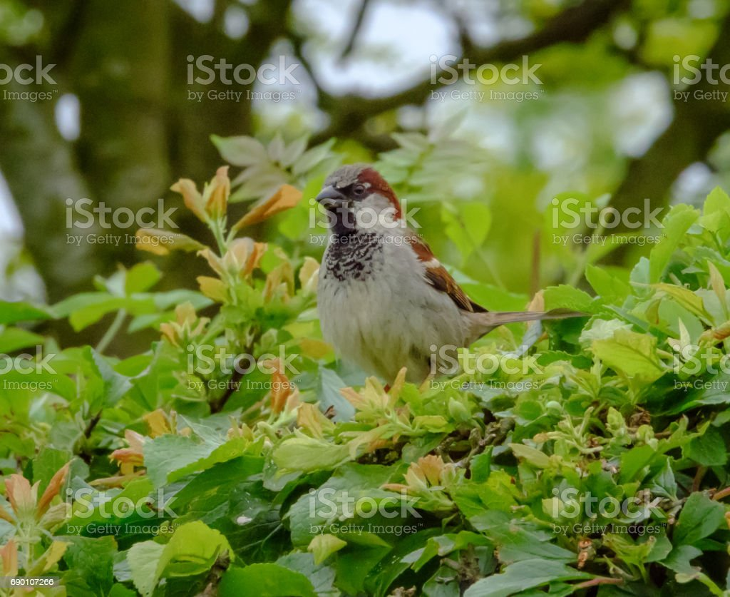 Adult male house sparrow seen looking at the photographer. stock photo
