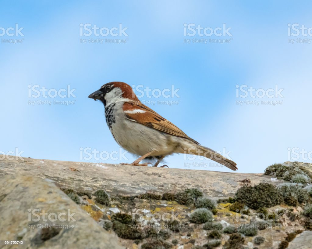 Adult male house sparrow seen with food in his beak, resting on a cottage roof. stock photo