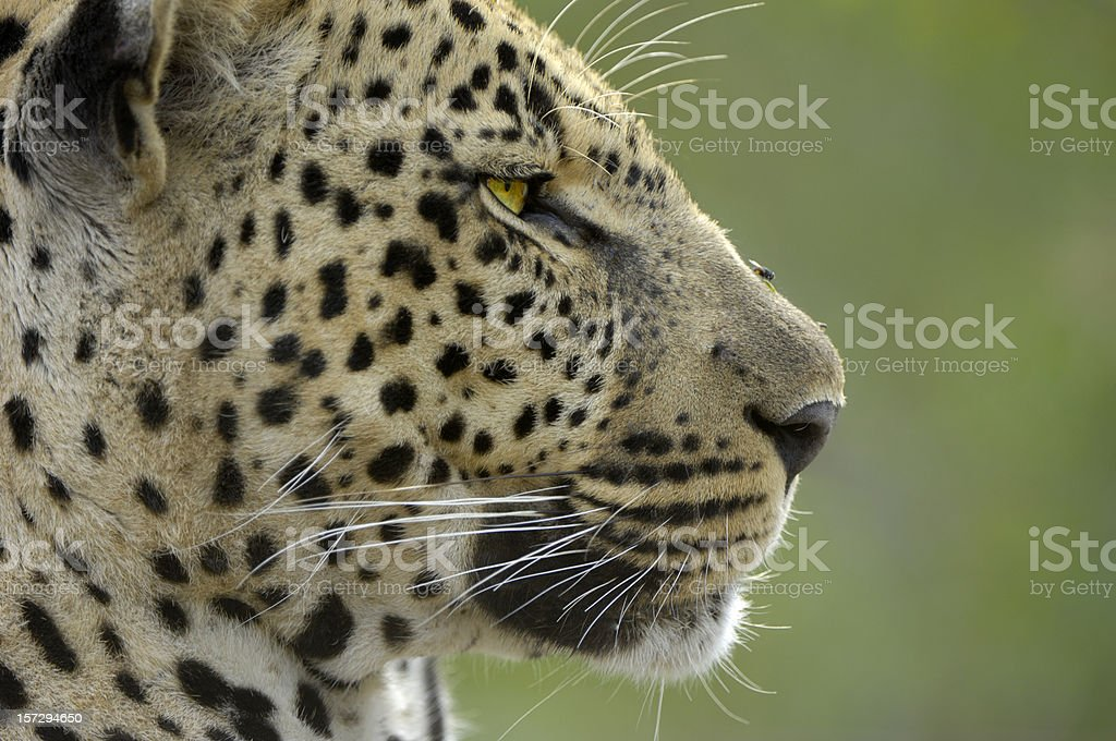 Adult male leopard stock photo