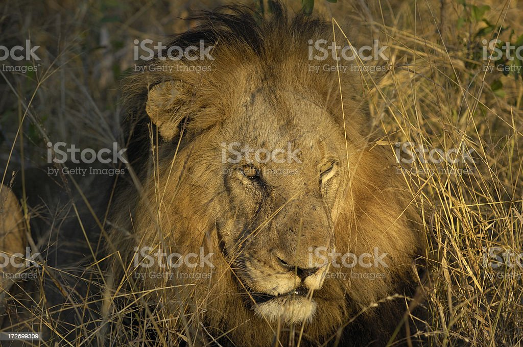 Adult male lion in the first morning light royalty-free stock photo