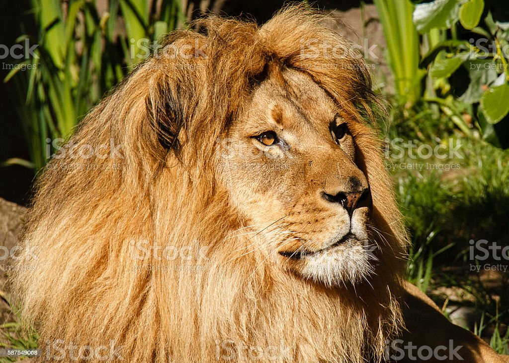 Adult Male Lion, royalty-free stock photo
