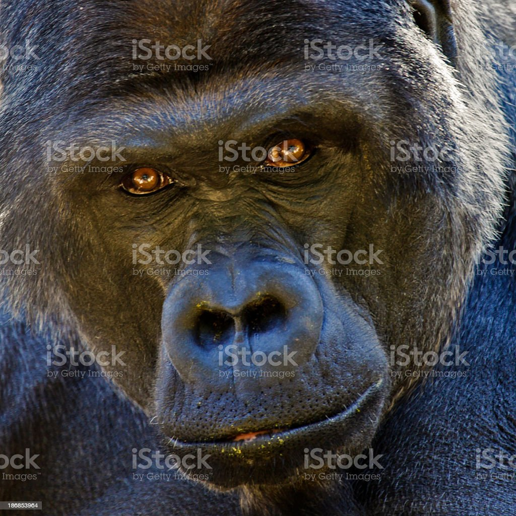 Adult male Lowland Gorilla stares intently into camera stock photo
