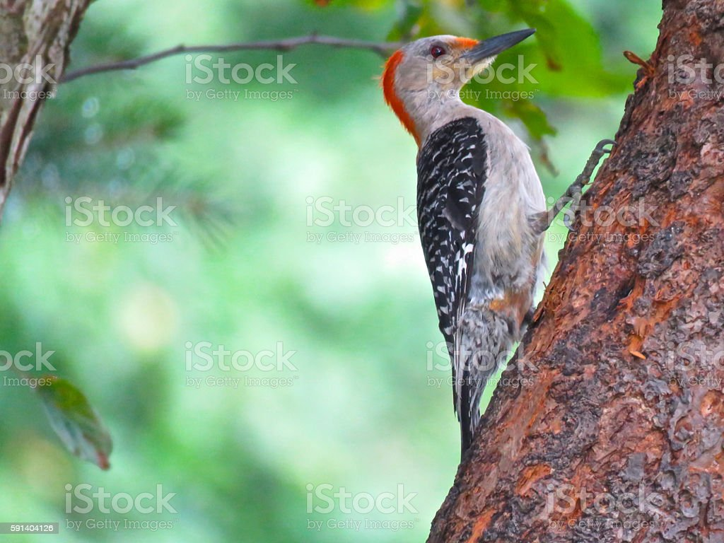 Adult male red-bellied woodpecker (Melanerpes carolinas) stock photo
