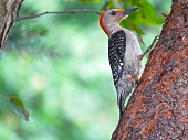 Adult male red-bellied woodpecker (Melanerpes carolinas)