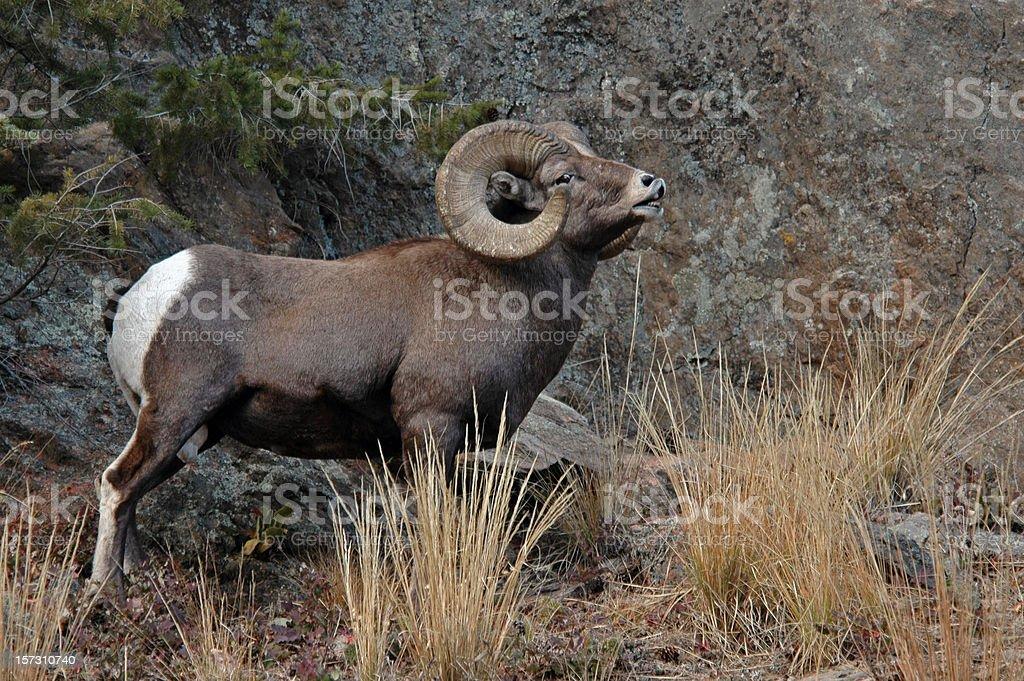Adult male Rocky Mountain Bighorn Ram stock photo