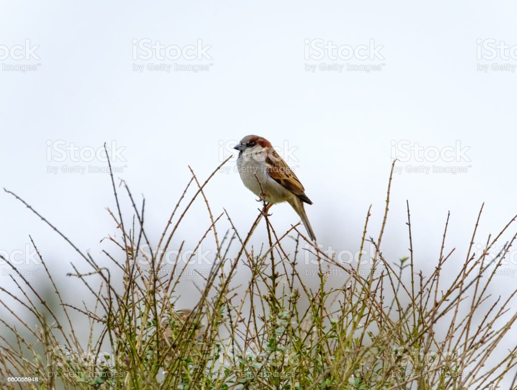 Adult male Sparrow seen singing from a bush seen in a garden setting. stock photo