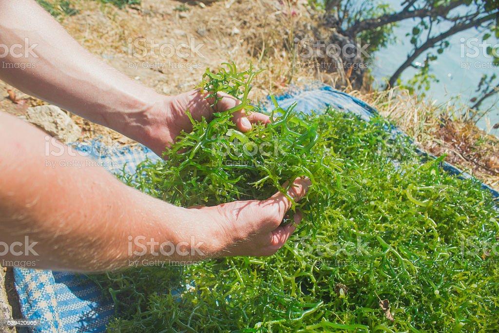 Adult man holding fresh seaweed stock photo