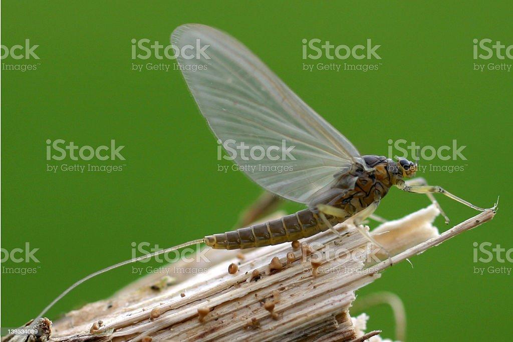 Adult Mayfly – Baetis rhodani royalty-free stock photo
