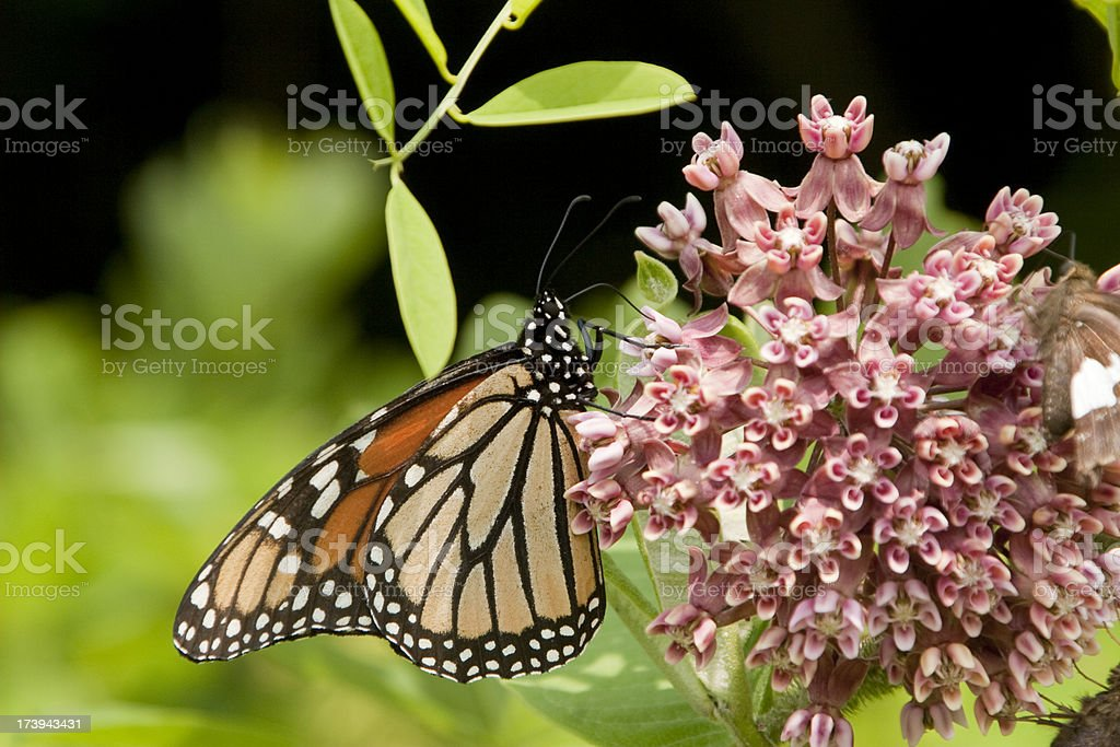 Adult Monarch butterfly at Shenandoah national park royalty-free stock photo