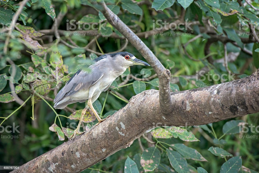 Adult night heron on a tree branch in Costa Rica. stock photo