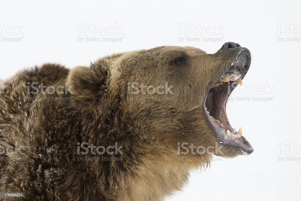 Adult North American Grizzly Bear in snow scene royalty-free stock photo