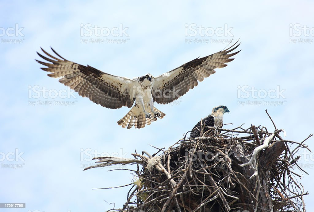 Adult Osprey Landing on It's Nest with Baby stock photo