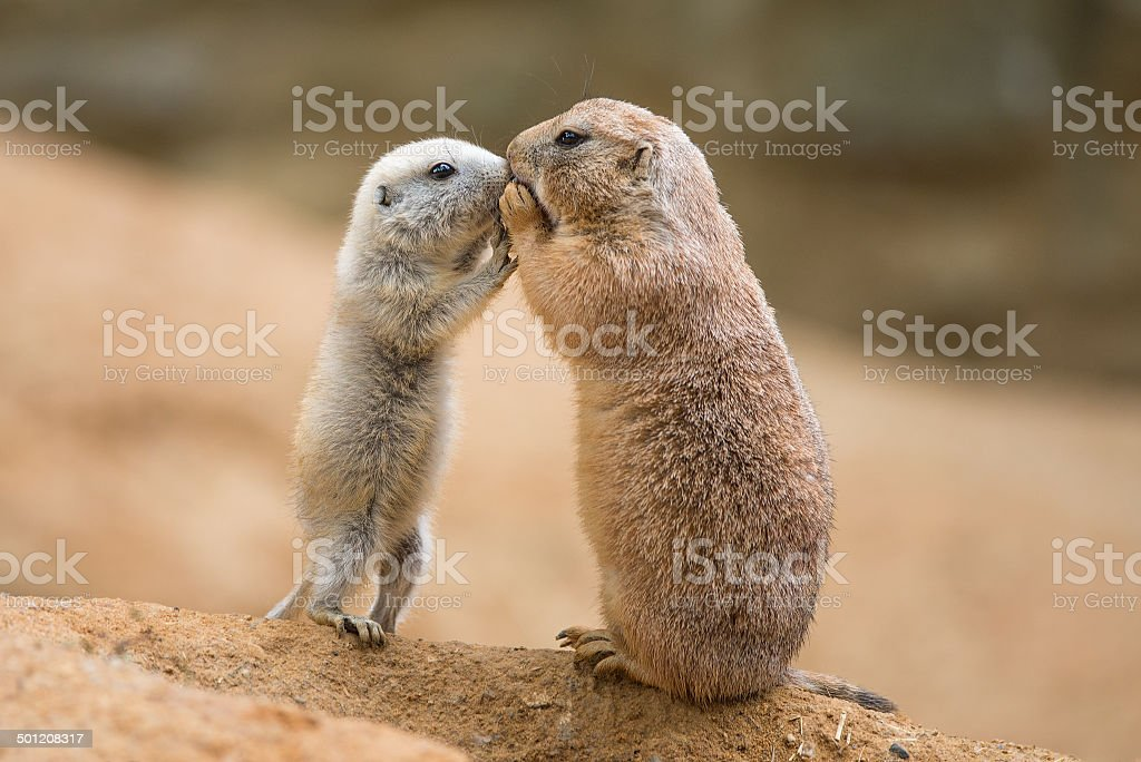 Adult prairie dog and a baby stock photo