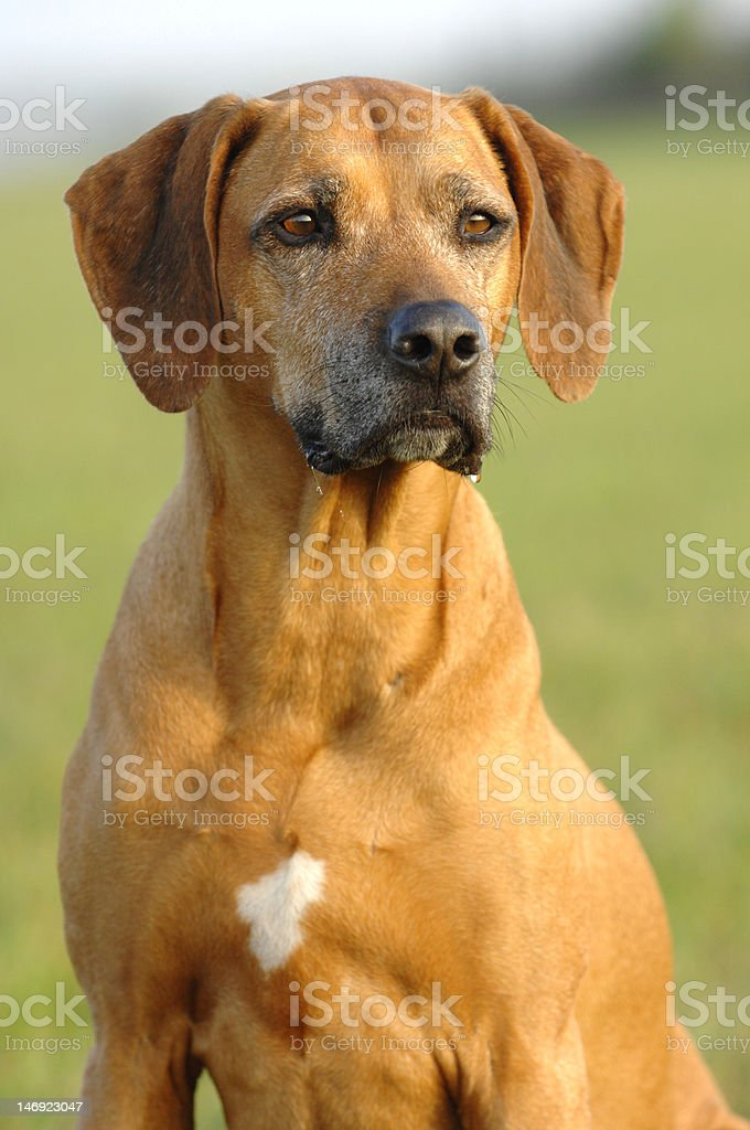 adult Rhodesian Ridgeback female stock photo