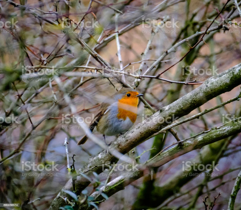 Adult Robin seen in a garden hedgerow as seen in early Spring. stock photo
