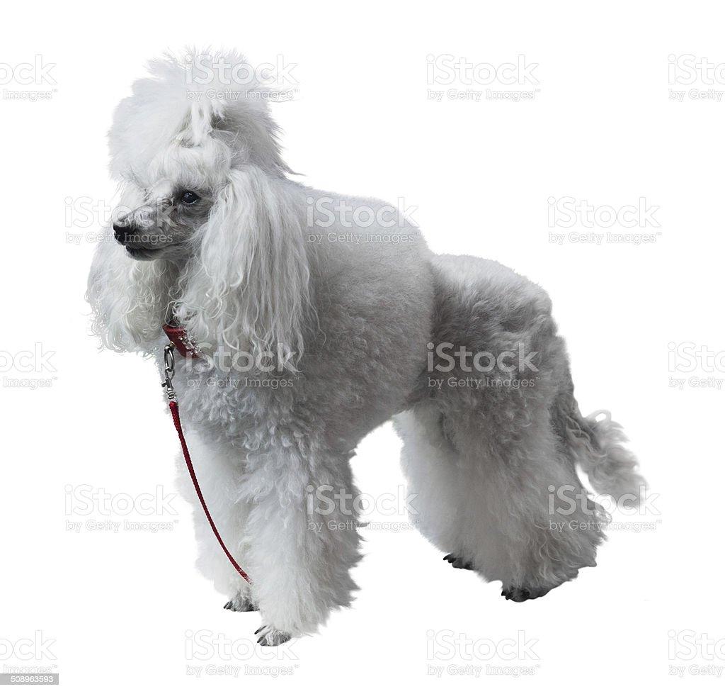 Adult Royal Poodle stock photo