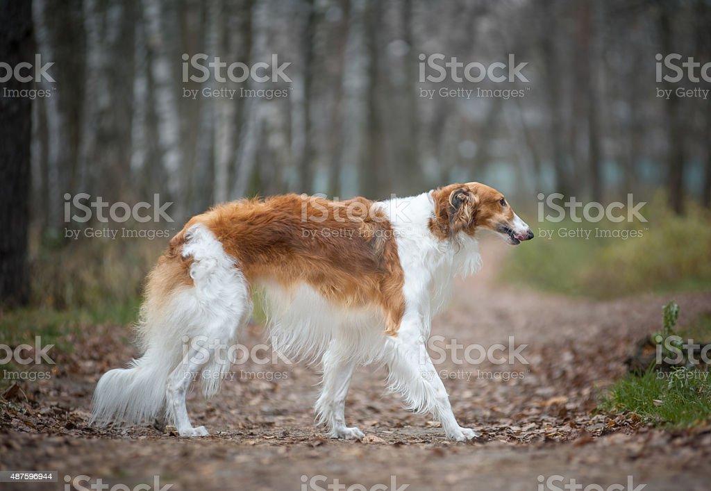 Adult russian borzoy dog stock photo
