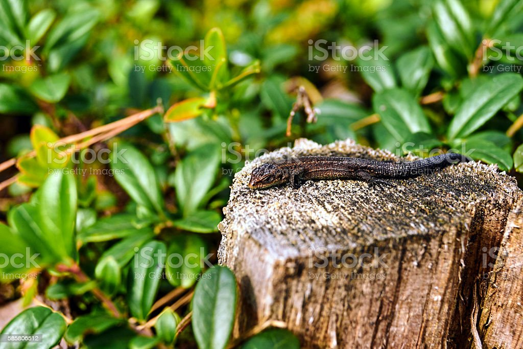 adult Sand Lizard on a tree trunk stock photo