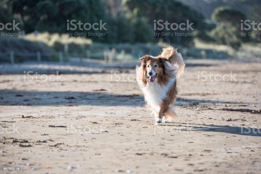 Adult Scottish Shepherd Dog Playing at the Seaside stock photo