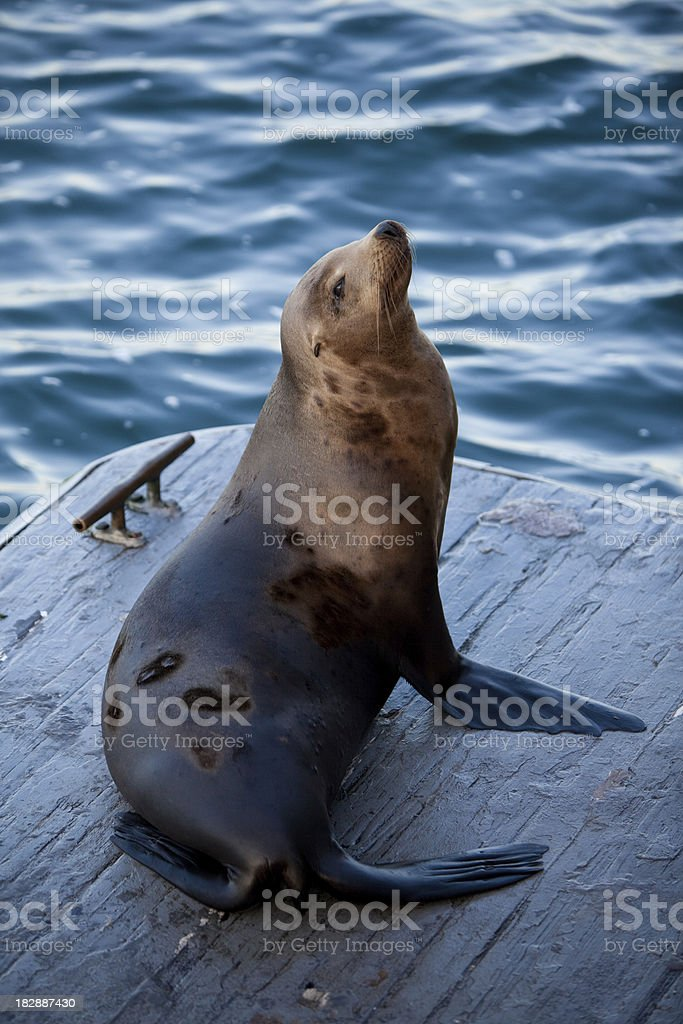 Adult Sea Lion stock photo