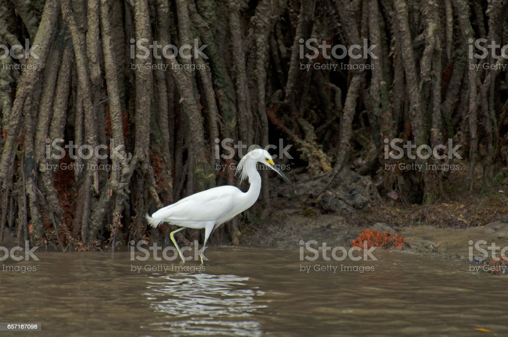 Adult snowy egret and red sponge near Carneiros Beach stock photo